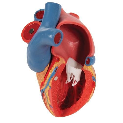 Life-Size Human Heart Model, 5 parts with Representation ...