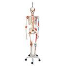 Skeleton models