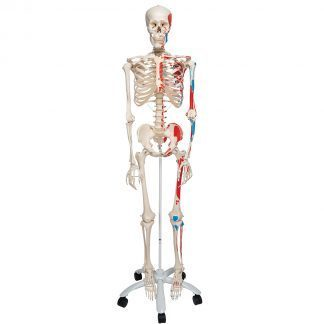 Human Skeleton Model (Adult) with Painted Muscle Origins & Inserts - Natural size - Max